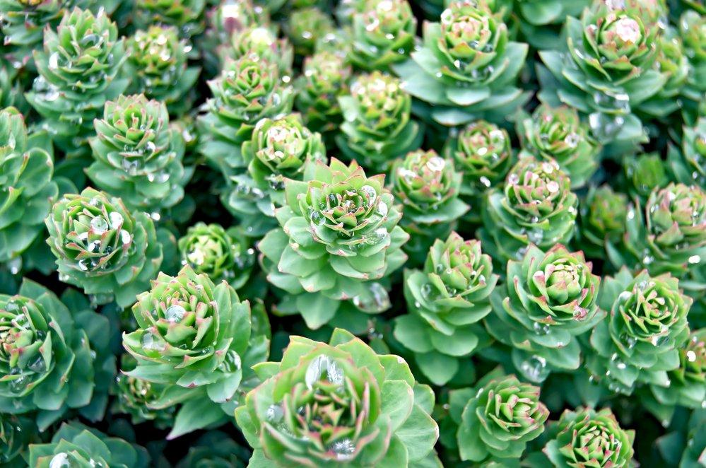 Photo de la Plante Rhodiola